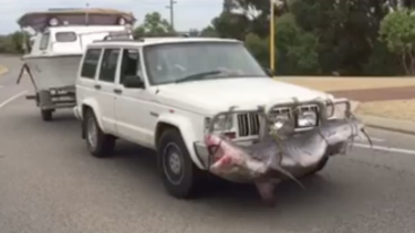 A still from the video showing a large shark strapped to the bullbar of a four-wheel drive in Safety Bay.
