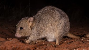 The burrowing bettong had something of a rebrand – previously bettongs were known as a rat kangaroos.