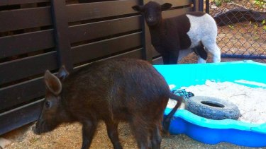 Morris the pig, who was injured and Barney the sheep, who was killed.