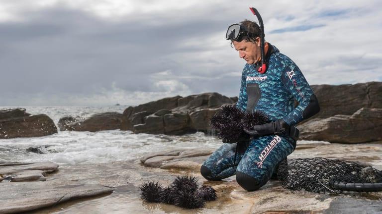 Sea urchin expert, biologist and commercial fisherman,Craig Shephard harvests sea urchins at Oak Park beach, Cronulla.