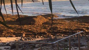 "The seaweed has a ""lovely, organic smell"" Gold Coast lifeguard boss Warren Young said."
