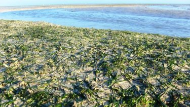 The seagrass beds in Roebuck Bay are vital feeding grounds for dugongs, turtles and dolphins.