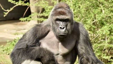 Harambe was shot after a young boy entered his enclosure at Cincinnati Zoo.