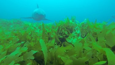 Marc Payne lay on the sea floor metres from the safety of his shark cage after he saw this white shark off WA in March.