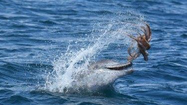 A dolphin tossing a octopus off the Mandurah coast.