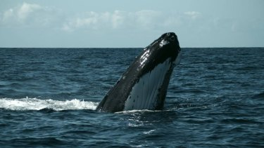 Whale blow and tissue samples could help researchers determine what has caused the exponential increase in populations along the east coast.