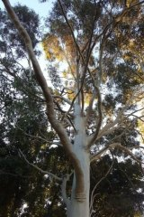 A 60-year-old yellow flowering gum, one of the 98 trees slated for removal.