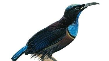 Magnificent riflebird.
