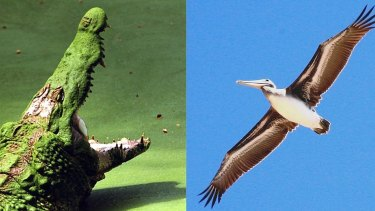 Crocodiles and birds are the living descendants of the archosaur.