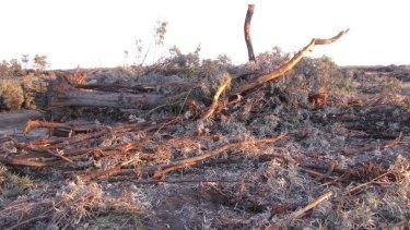 Land clearing at Croppa Creek, in northern NSW, is destroying key koala habitat.