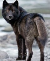 Conservationists argue the Alexander Archipelago wolf is threatened.