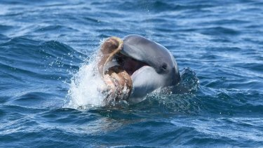 A dolphin playing with a octopus off the Mandurah coast.