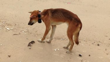 This Fraser Island dingo was 'collared' by rangers, but found dead on the Fraser Island beach by a tourist.