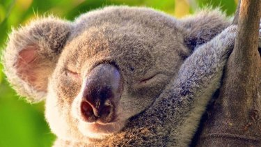 Koalas may be threatened by proposed changes to land clearing.