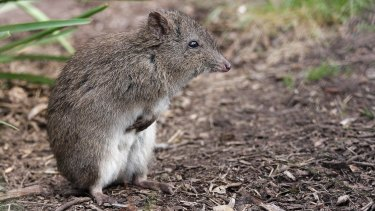 The potoroo is described as an elusive forest dwelling marsupial.