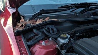 Michael Garbutt found a red-bellied black snake under his bonnet after parking his car in Kurnell.