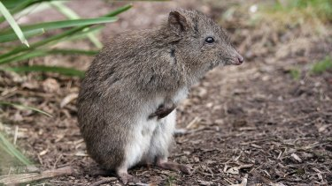 Four Gilbert's potoroos have been moved to an island off Albany on Western Australia's southern coast in a move to protect the critically endangered marsupial after a massive fire destroyed most of their habitat.