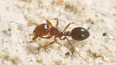 Fire ants have been found at the Botanic Gardens, as well as a number of Brisbane suburbs.