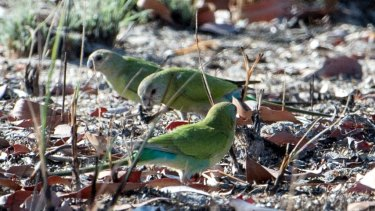 There may be fewer than 2000 golden-shouldered parrots left in their native South Central Cape York habitat.