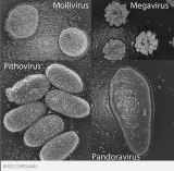 Representatives of the four 'giant' virus families: Mollivirus, Megavirus, Pithovirus and Pandoravirus under a scanning electron microscope.