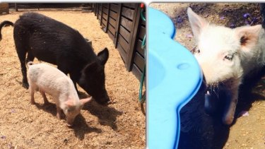 Missy, the smaller white pig, and Morris survived the attack but suffered puncture wounds.