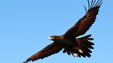 Wedge-tailed Eagles are big solid birds that soar high above and swoop down to take their prey - an apt description for the tall timber of West Coast.