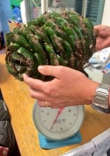 A 6-kilogram Bunya pine cone recently fell at the Australian Botanic Garden Mount Annan.