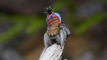 """A Maratus jactatus, aka """"Sparklemuffin""""."""