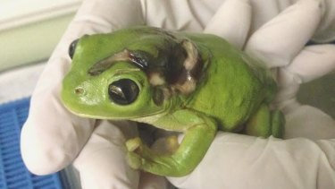 The frog's injuries were quite serious but he has since recovered well.