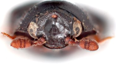 Here's looking at you, housemate; an image of a carpet beetle.