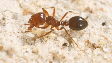 Foreign invader: The red imported fire ant, an infestation of which arrived at Port Botany earlier this month.