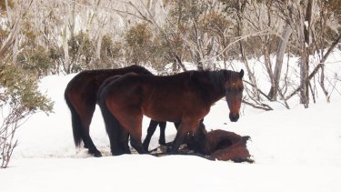 These brumbies were seen with their snouts inside the abdominal cavity of a dead horse.