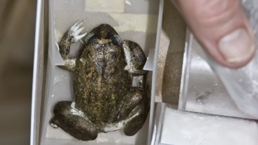 In March 2008, the Project Lazarus research team made its first attempts to clone the extinct Australian gastric-brooding frog, Rheobatrachas silus, by nuclear transfer. The tissue was taken from specimens frozen since 1980, including this remarkably well-preserved complete frog. A frozen gastric brooding frog.