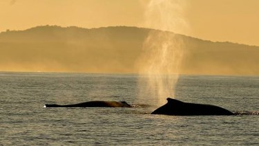 Whale blow can extend up to six metres into the air.