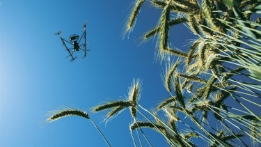 Food security on the table: A drone surveys a wheat crop in Mexico as part of an initiative to create more energy efficient wheat.