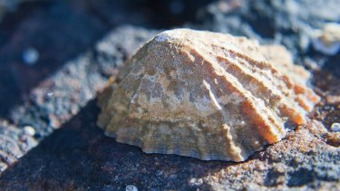 The teeth of shelled aquatic creatures called limpets are the strongest biological material on Earth.