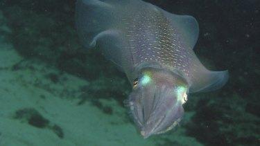 A southern calamari in Australian waters.