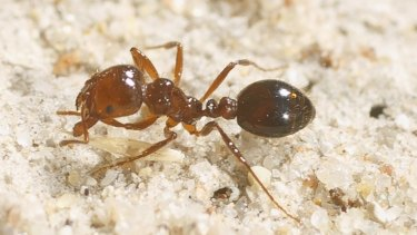 Hot to trot: You don't want the red fire ant underfoot.