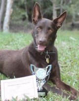 Three-legged wonder dog Zorion has fought back from serious injury to be an agility champ.