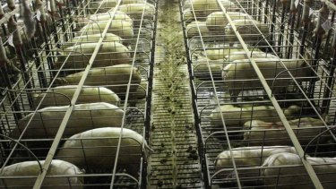 Mass deaths: The Grong Grong Piggery, in a file picture unrelated to the deaths of the 500 pigs in the heat stress incident, taken by an animal activist group.