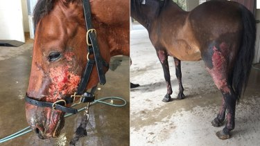 The horses' injuries may get worse before they get better.