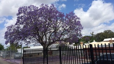 """The future of the town's beloved jacaranda - the winner of a 'Perth's best jacaranda"""" competition' - was another bone of contention."""