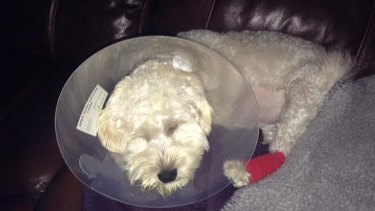Caroline's schnoodle Leo shortly after his liver operation.