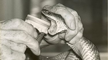 A tiger snake being milked in 1968.