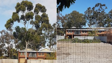 Before and after: The 'church steeple' tree.