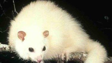 White lemuroid ringtail possum.
