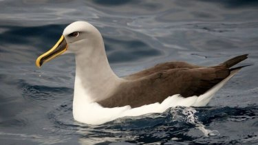 The near-threatened Buller's albatross that was found with marine debris in its gut.