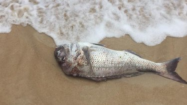 James Alexander Beasley posted the picture of the dead pink snapper near Kwinana.