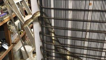 This python was found seeking heat behind a fridge in a Queanbeyan garage.