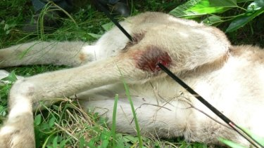 The injuries suffered by the kangaroo in Grafton